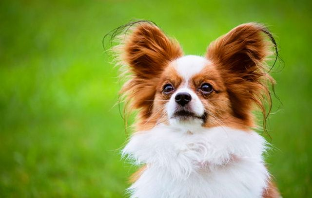 топ-10 найрозумніших порід собак