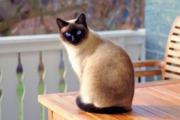 Топ-10 найкрасивіших порід кішок
