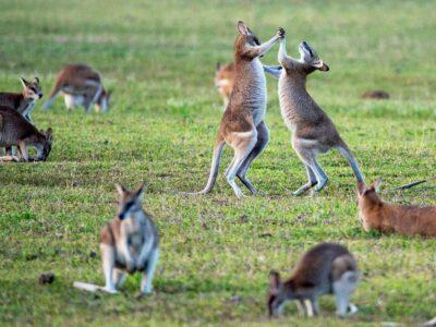 7 фактів, яких ви не знали про кенгуру