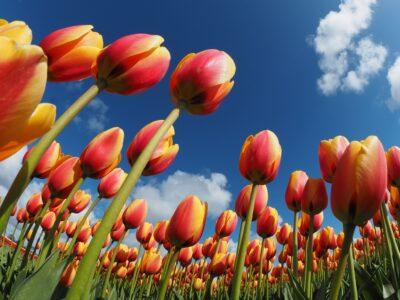 5 фактов о тюльпанах, которых вы не знали