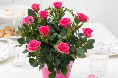 Топ 5 головних правил вирощування кімнатної троянди