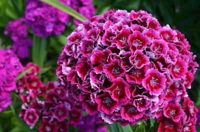 Осінній сад: Топ 10 найбільш морозостійких квітів