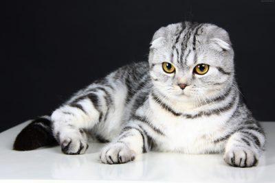 Цікаві факти про висловухих кішок