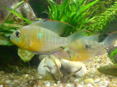 Топ 10 рибок для створення домашнього акваріума