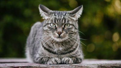 Яку кішку завести? Топ 10 найбільш сімейних порід