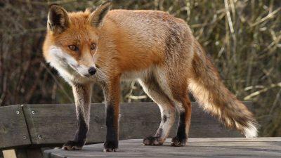 Лисячі таємниці: 10 незвичайних фактів про лисицю звичайну